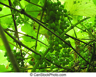 green leaves and branches with grapes