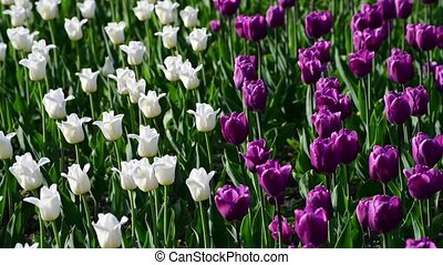 There are many lilac and white tulips in flowerbed - There...