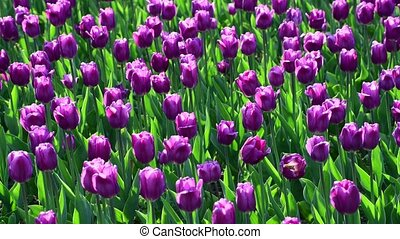 There are many lilac tulips in flowerbed - There are many...