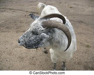 rural road and nanny-goat