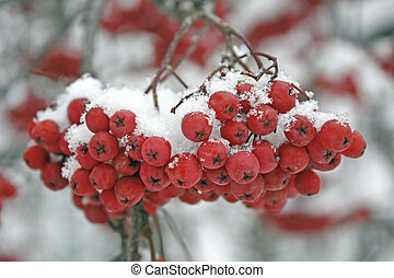 There has come winter. Snow has dropped out. On mountain ash berries snow lies. It is beautiful.