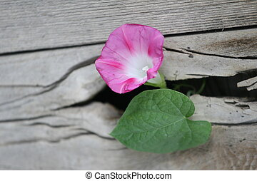 There's a Will - Morning Glory blooming through a hole in a ...