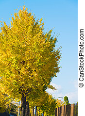 ginkgo yellow leaves in autumn