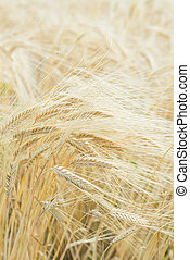 ears of ripe barley - These are the ears of ripe barley.