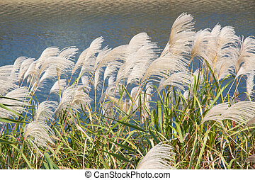 These are the silver grasses in autumn.