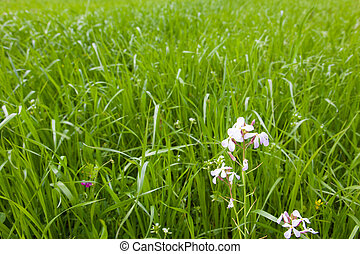 white flowers of the meadow in spring