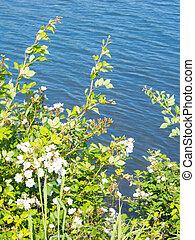 wild rose of riverside