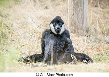 Northern white cheeked gibbon - These beautiful Northern...