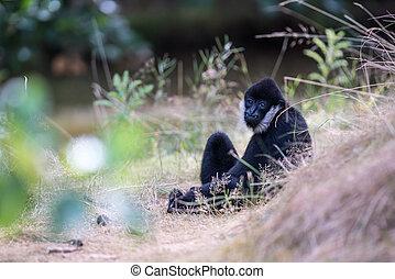 Northern white cheeked gibbon