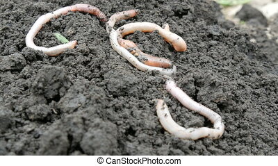 Thick big earthworms crawl in the ground after rain.