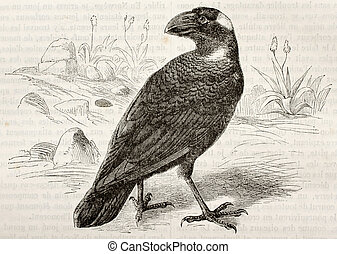 thick-billed, corbeau