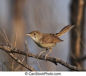 Thick-billed Warbler on branch with gray sky background