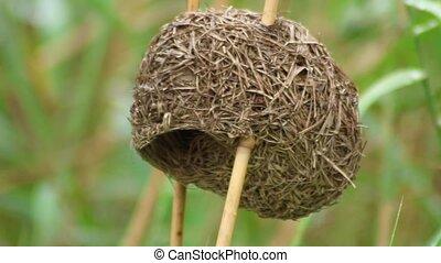 Thick-billed weaver nest in Kruger National Park South Africa. Close up.