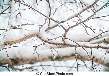Thick birch branches covered with snow. The snow on the branches of a birch