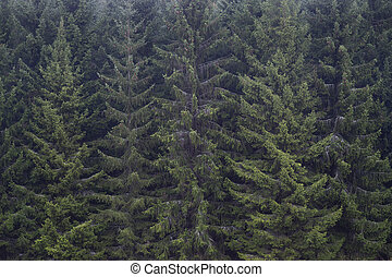 Thick forest of spruce trees