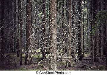 Thick forest with bare trunks of spruce trees