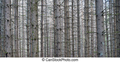 Thick forest with conifers