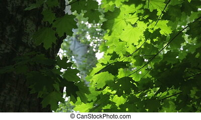 Thick green foliage of maple