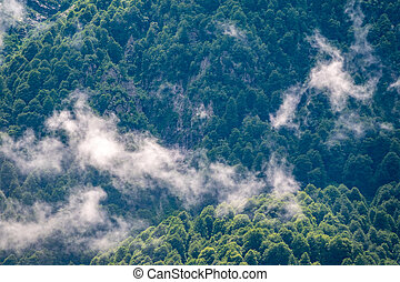 Thick green forest on a hillside in the morning fog. Trees in the fog.