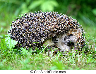 thick hedgehog is photographed on the grass close up