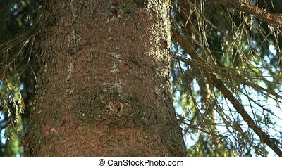 Thick trunk of the pine tree in the park