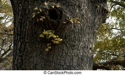 Thick trunk,lush ginkgo tree