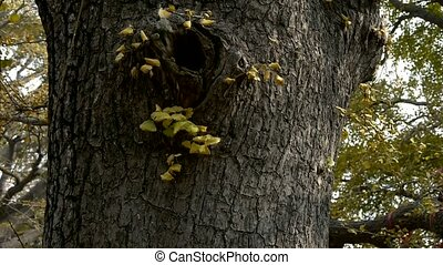 Thick trunk,lush ginkgo tree in breeze,Trunk,forest,woods.