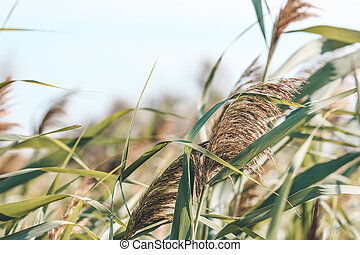 Thicket of reeds over sky background