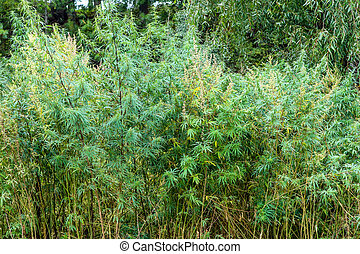 Thickets of hemp plant in a field in Bhutan - Thickets of ...