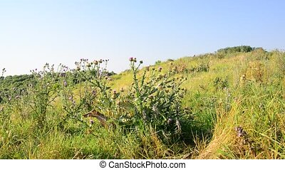 Thickets of prickly Thistle on meadow in wild nature -...