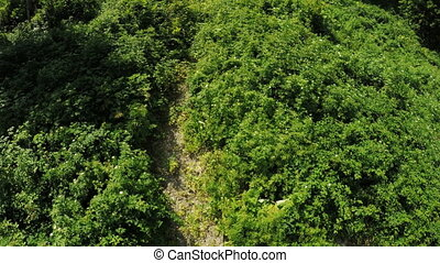 Thickets of raspberry in mountains