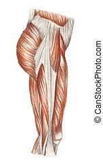 thig, -, mięśnie, anatomia, ludzki