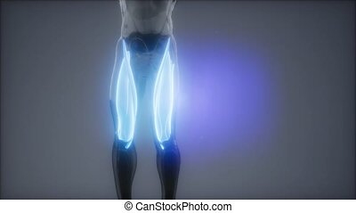 thigh muscles - Visible muscle anatomy map