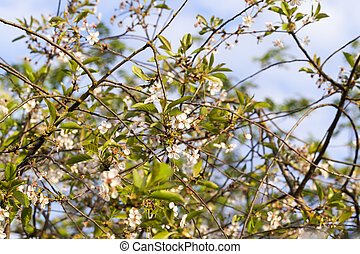 thin branches of cherry