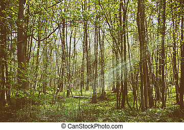 Thin trees in a wood in the Chilterns, England