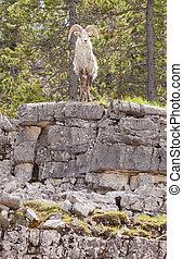 Thinhorn Sheep ram Ovis dalli stonei
