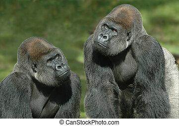 Gorillas thinking of something