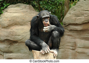 Thinking Chimpanzee in Soutern Spain