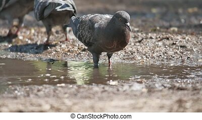 Thirst. Dove drinking from a puddle. reflection in water....