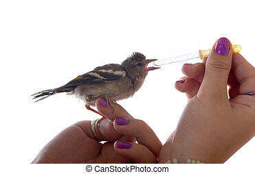 The baby bird drinks water from a pipette