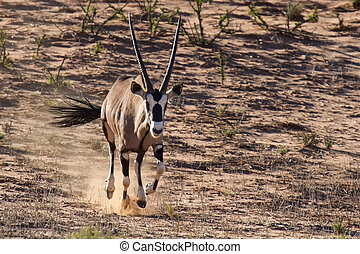 Thirsty and hungry oryx come running down a dune in the late afternoon sun