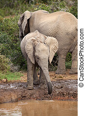 Thirsty Baby Elephant