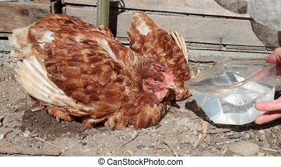 thirsty ill hen - The disease Newcastle is a major killer of...