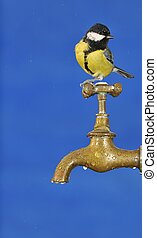 Thirsty. - Parus major.