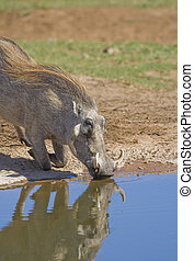 Thirsty warthog drinking at the water hole