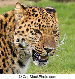 This Amur Leopard born in Russia, and is now being cared for at a big cat breeding project in the UK.
