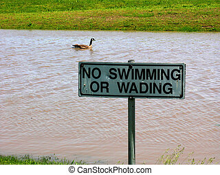 Swimming or Wading - This Canada goose was not following the...