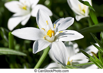 Star of Bethlehem - This image shows a macro from a Star of...