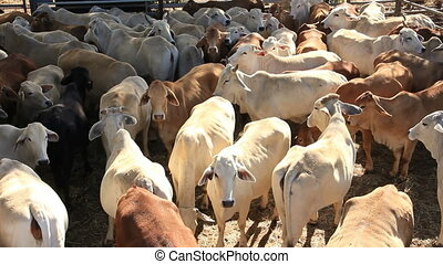 Brahman Beef Cattle Cows in sale yard pen - This is a clips...