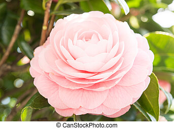 flower of the double-flowered camellia - This is a flower of...